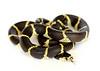 California King Snake (Lampropeltis californiae)