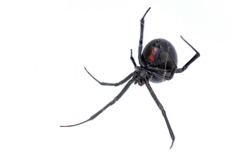 female Black Widow (Latrodectus variolus)