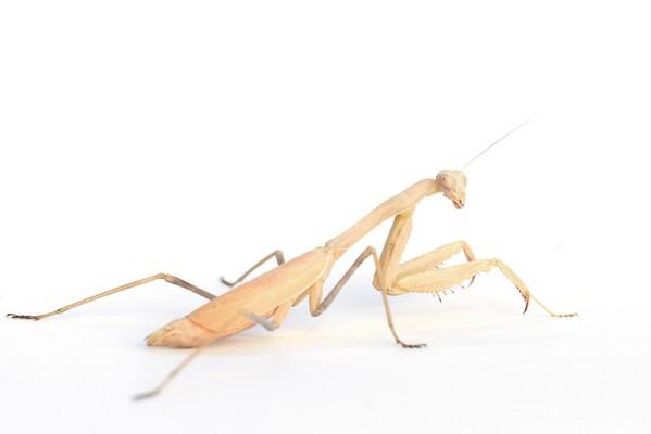 Praying Mantis female (Stagomantis californica)