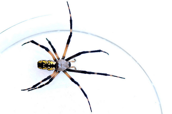 Black & Yellow Orb Weaver (Argiope aurantia)