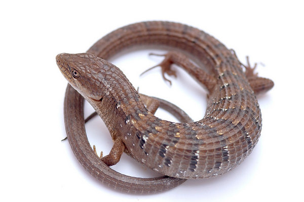 Southern Alligator Lizard (Elgaria multicarinata)