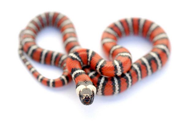 Mountain King Snake (Lampropeltis zonata)