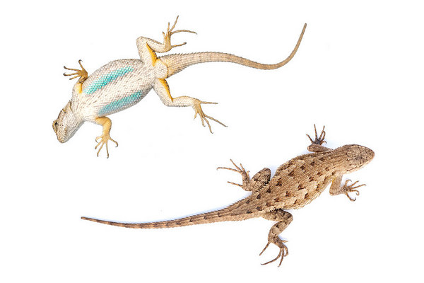 Western Fence Lizard (Sceloporus occidentalis)