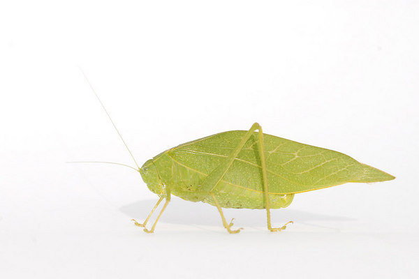 California Angle-Wing Katydid (Microcentrum californicum)