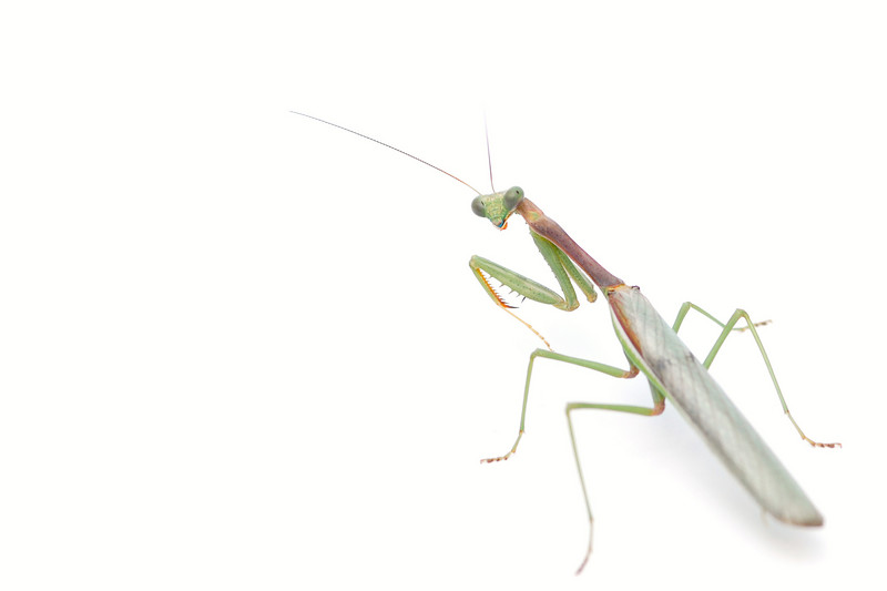 Praying Mantis male (Stagomantis californica)