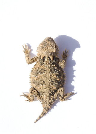 Coast Horned Lizard (Phrynosoma coronatum)
