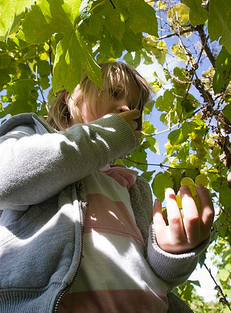 Record-Eagle/Douglas Tesner<br /> Sophie Ramp, 6, of Traverse City, enjoys some grapes during the annual Harvest Days at Chateau Chantal on Old Mission Peninsula.