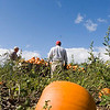Record-Eagle/Douglas Tesner<br /> Family and friends move through Bill and Monica Hoffman's fields as they harvest the pumpkin crop. Friends and relatives came from as far away as Holland, Mich. for the one-day event. Bill and Monica's Old Mission Peninsula farm has been in the family since 1879.