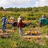 Record-Eagle/Douglas Tesner<br /> Family and friends help Bill and Monica Hoffman harvest pumpkins on their Old Mission Peninsula farm.
