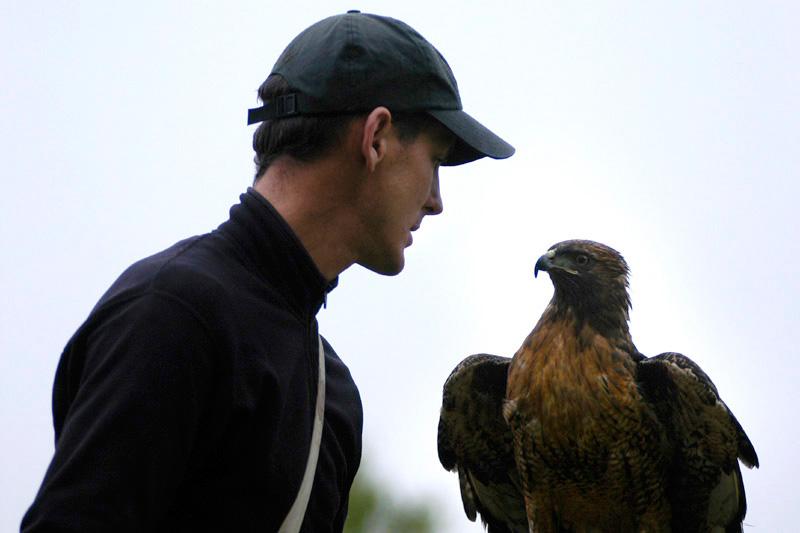 Falconer Laine MacTague, of Camarillo, Calif., works with Manuka, a female redtail hawk. MacTague captured Manuka over a year ago.
