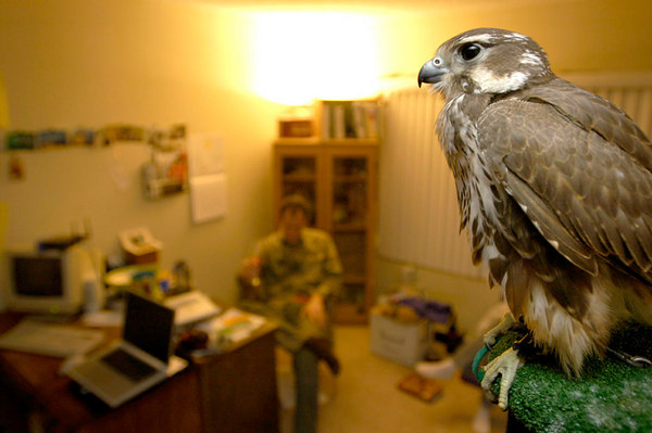 Telephone, a female prairie falcon, rests on its perch in the home of falconer Laine MacTague, in Camarillo, California.  Telephone, who was captured in the wild just four weeks ago, now lives within the confines of MacTague's home, tethered to her perch.