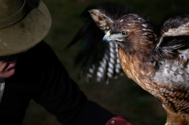 Manuka, a female redtail hawk, undergoes training exercises with falconer Laine McTague, of Camarillo, Calif.