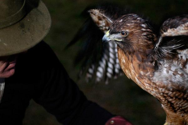Manuka, a female redtail hawk, undergoes training exercises with falconer Laine McTague, of Camarillo, Calif.