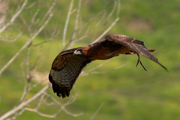 """Redtail hawks, like Manuka, are members of a genus of raptors known as """"Buteos."""" Buteos exhibit relatively large bodies and broad wings which equip them to hunt many different kinds of small mammals and other birds."""