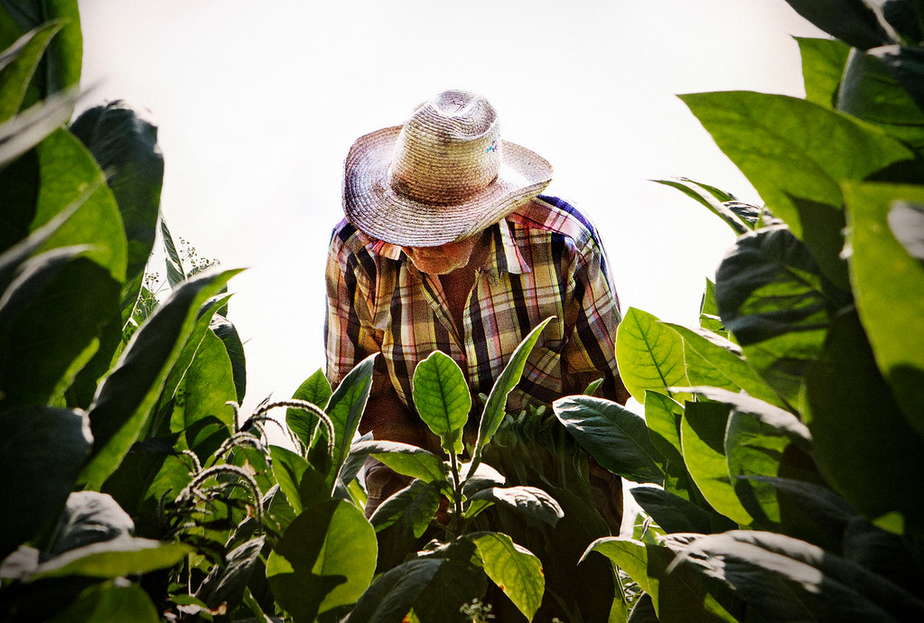 A tobacco farmer tends to his crops in Viñales, Cuba.