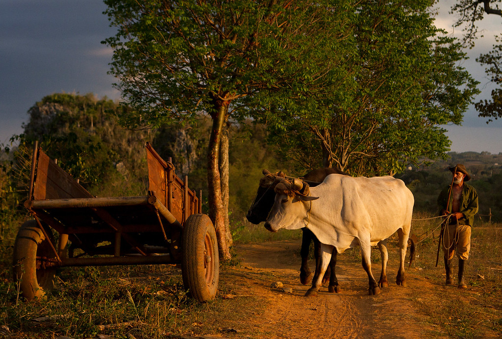 A farmer uses cattle to tend to his crops. It is illegal to kill a cow in Cuba, where all cattle are technically owned by the state. A person can be sent to jail for up to 20 years for illegally slaughtering a cow.