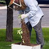 Record-Eagle/Douglas Tesner<br /> After cutting the cluster of bees down, Mike Street gently places the cluster into a wooden bee box for transportation to his farm in Kingsley.
