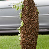 Record-Eagle/Douglas Tesner<br /> A passerby in her car gets a close look at a cluster of bees.