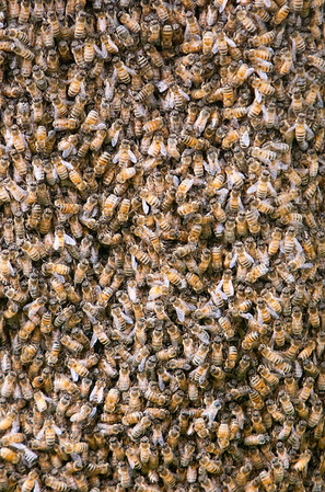 Record-Eagle/Douglas Tesner<br /> Two clusters of Italian honey bees were found in a tree in front of the Stromberg-Carlson engineering office.   Beekeeper Mike Street estimated one cluster contained 80,000 bees and the other 20,000.