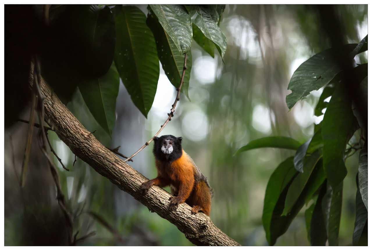 A monkey sitting on a tree branch in the Ecuadorian Amazon.