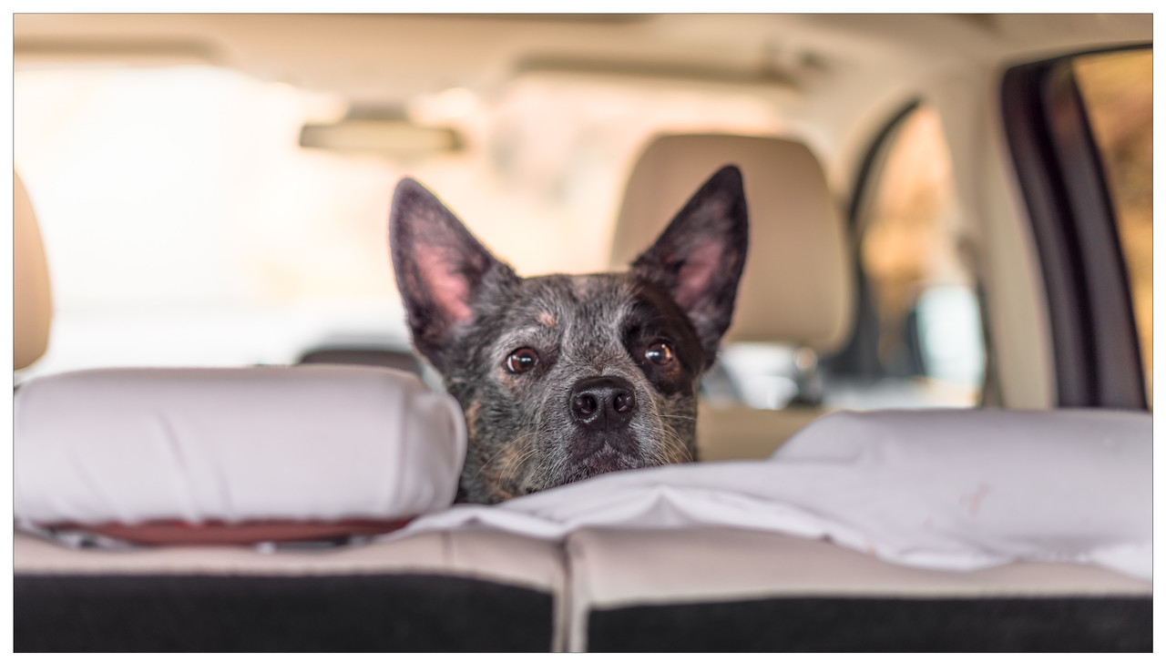 Rupert the Australian Cattle Dog stars over the back seat of a Ford Kuga Vignale.