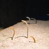 Sand eel