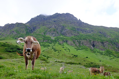 Curious Tyrolean cow