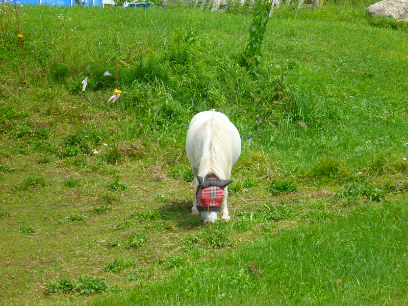 Pony with plaid fly mask