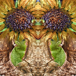 Sunflower Guards