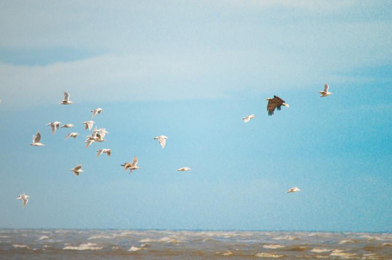 seagulls and eagle