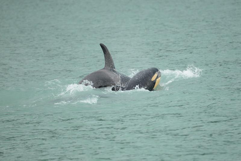 Orcas, Killer Whales, mama & baby calf