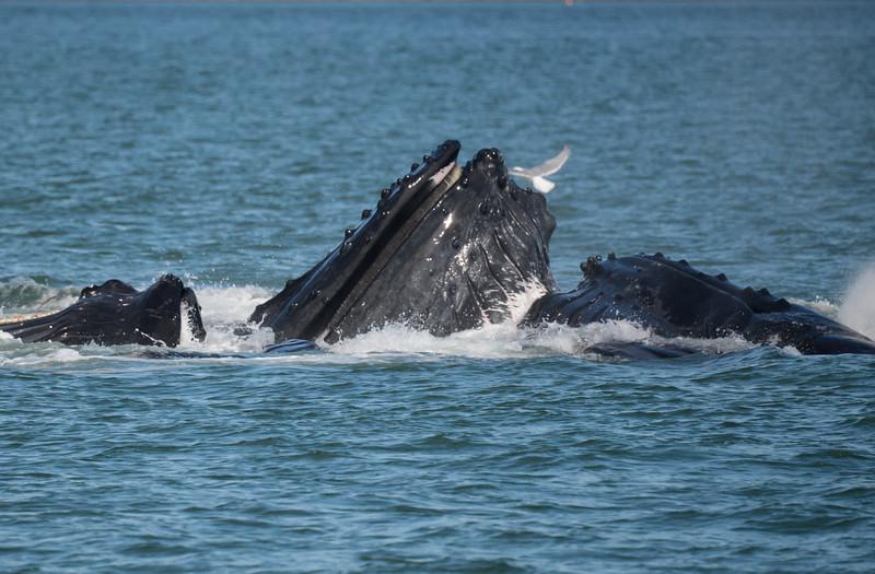 humpback whales, bubble net feeding, Stephen's Passage