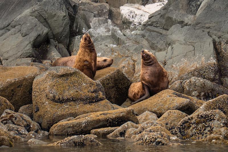 Stellar Sea Lions, Frederick's Sound, Sail Island
