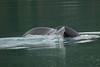 Humpback Whale, Endicot Arm