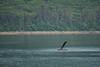 Humpback Whales, Frederick's Sound, waving, slap, splash