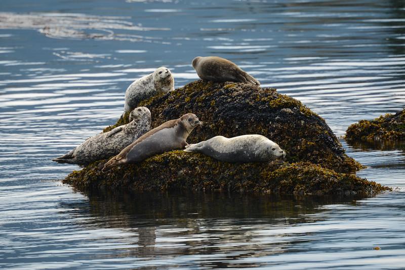Harbor Seals, Endicot Arm