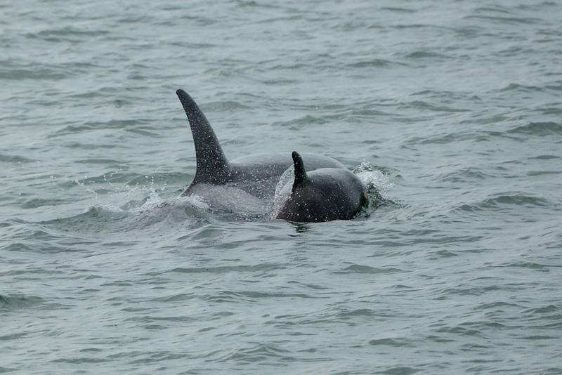 Orcas, Killer Whales