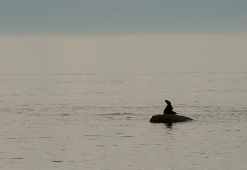 Stellar Sea Lions, Frederick's Sound
