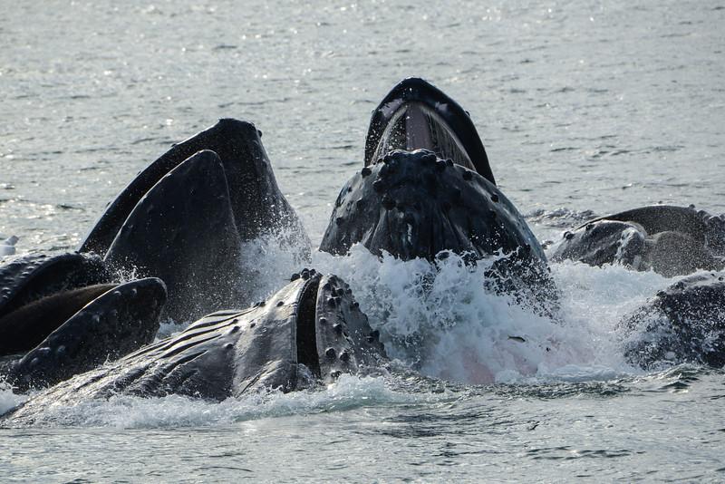Humpback Whales, Stephen's Passage, Bubble net feeding, waving