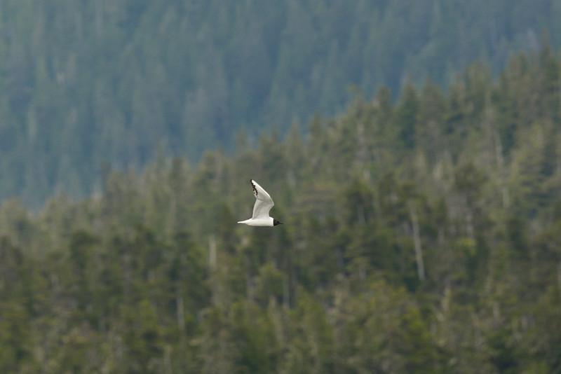 Bonaparte's Seagull, Frederick's Sound