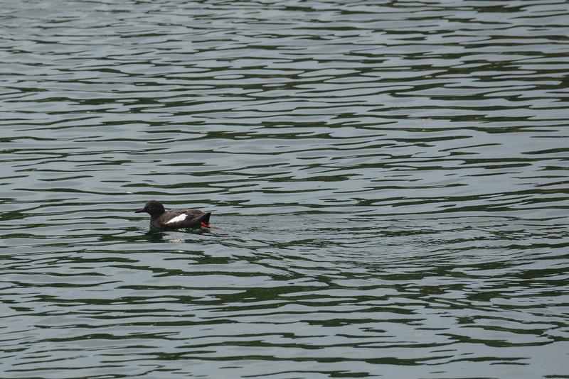 Pigeon Guillemot, Frederick's Sound off Sail Island