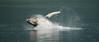 Humpback Whales, Frederick's Sound, breaching, splash