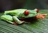 Red-eyed tree frog (Agalychnis callidryas)(captive)