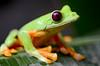 Gliding Tree frog (Agalychnis spurrelli) (captive)