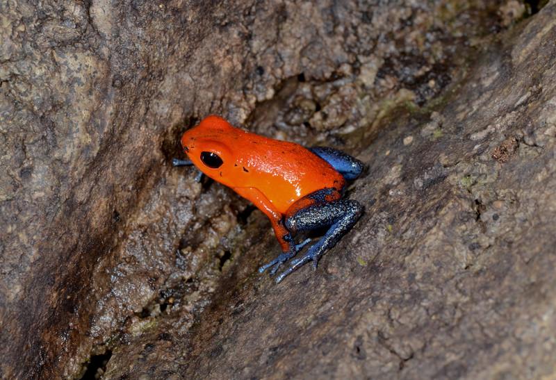Blue jeans poison dart frog (ofaga pumilio) (captive)
