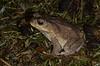 Bufonidae (wild)