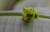 fleischmanni glass frog (Hyalinobatrachium fleischmanni) (captive)