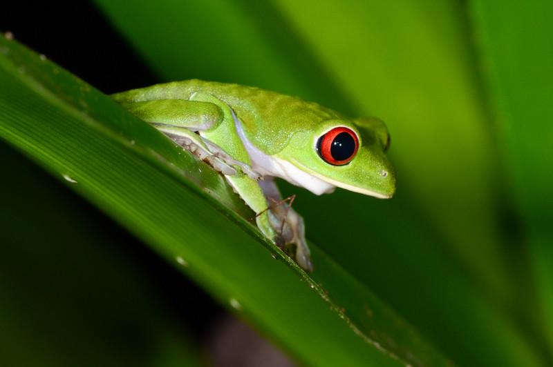 Red-Eyed tree frog (Agalychnis) (wild)