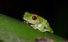 Red-Eyed tree frog (Agalychnis callidryas) (wild)