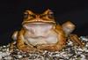 """the Zen Master"" (leptodactylus pentadactylus) (wild)"